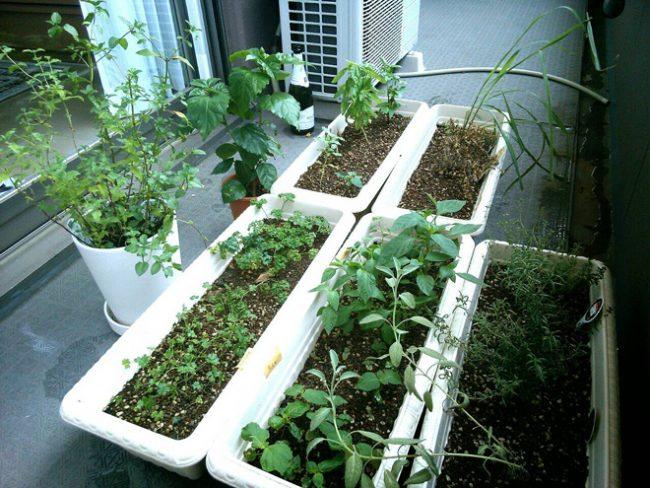 ハーブ栽培は夫の趣味。 ハーブウォーターを作ったり、料理に活かしたりしています。