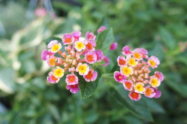 ピンクの小さい花
