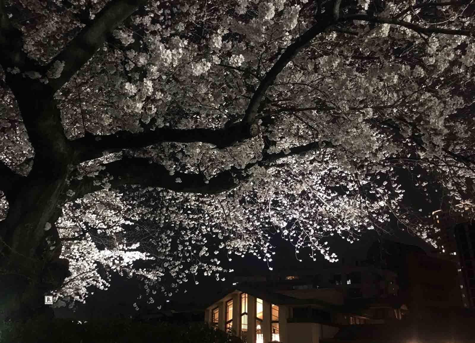 明日館の夜桜