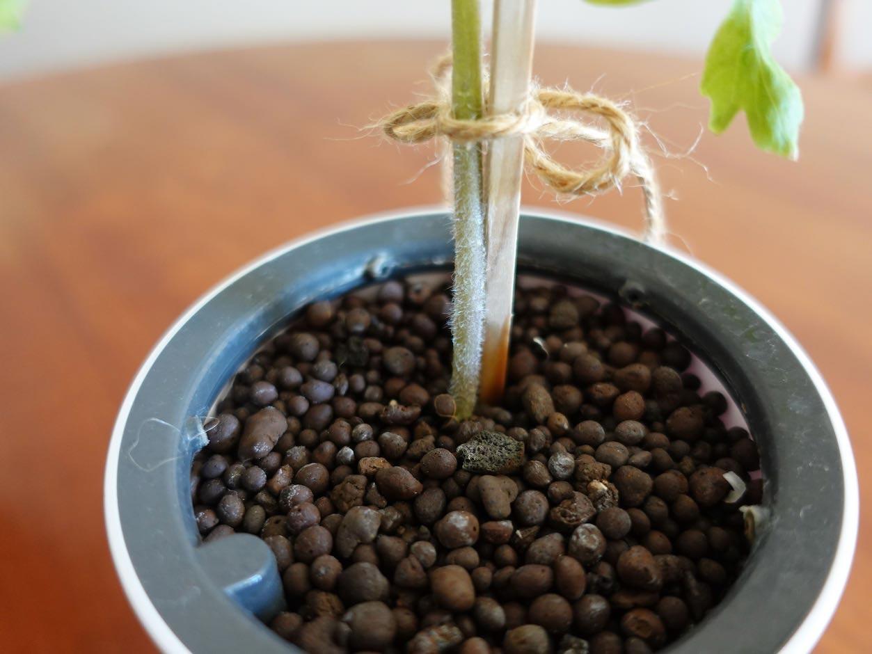 水耕栽培のミニトマト