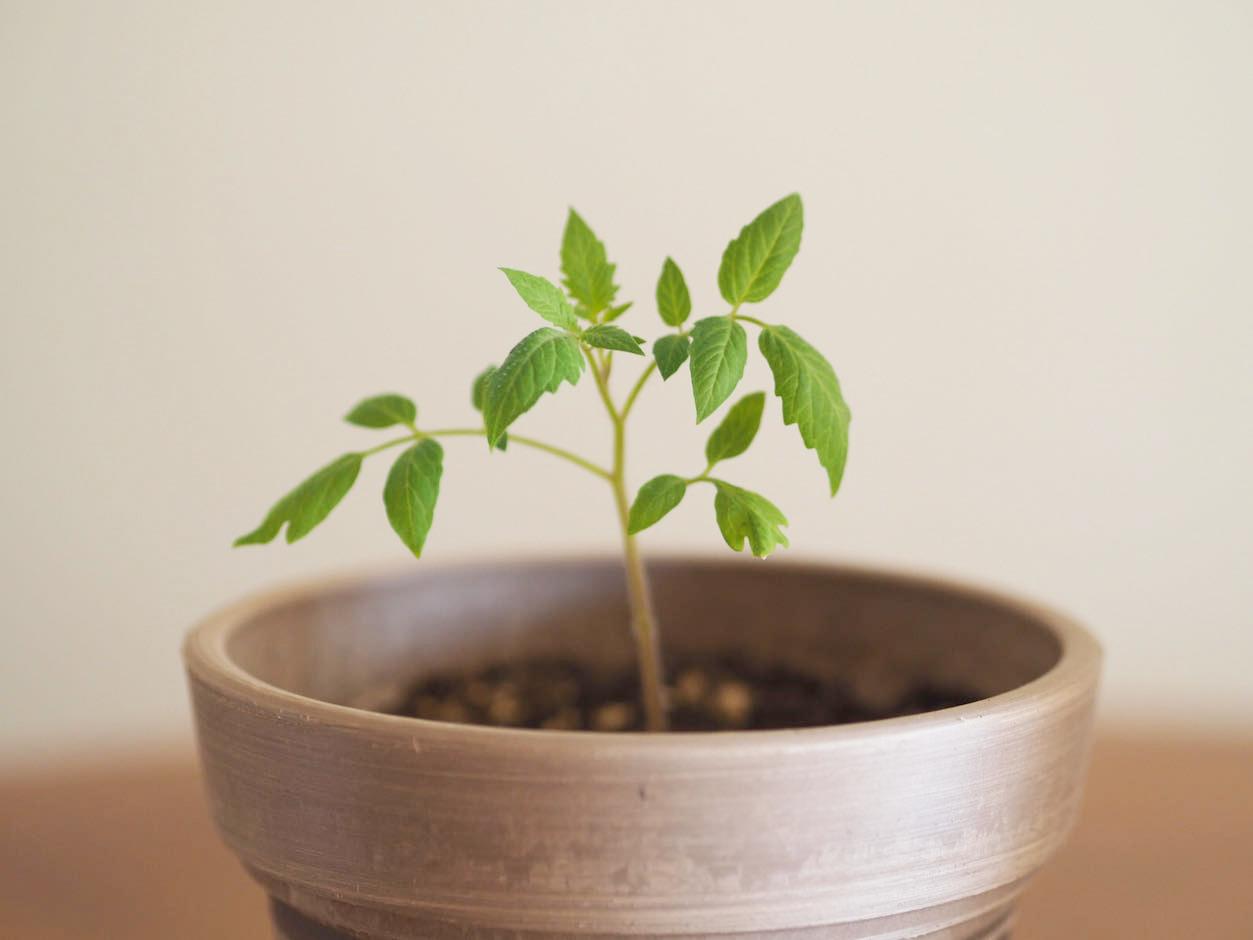 ミニトマトの苗 土耕栽培