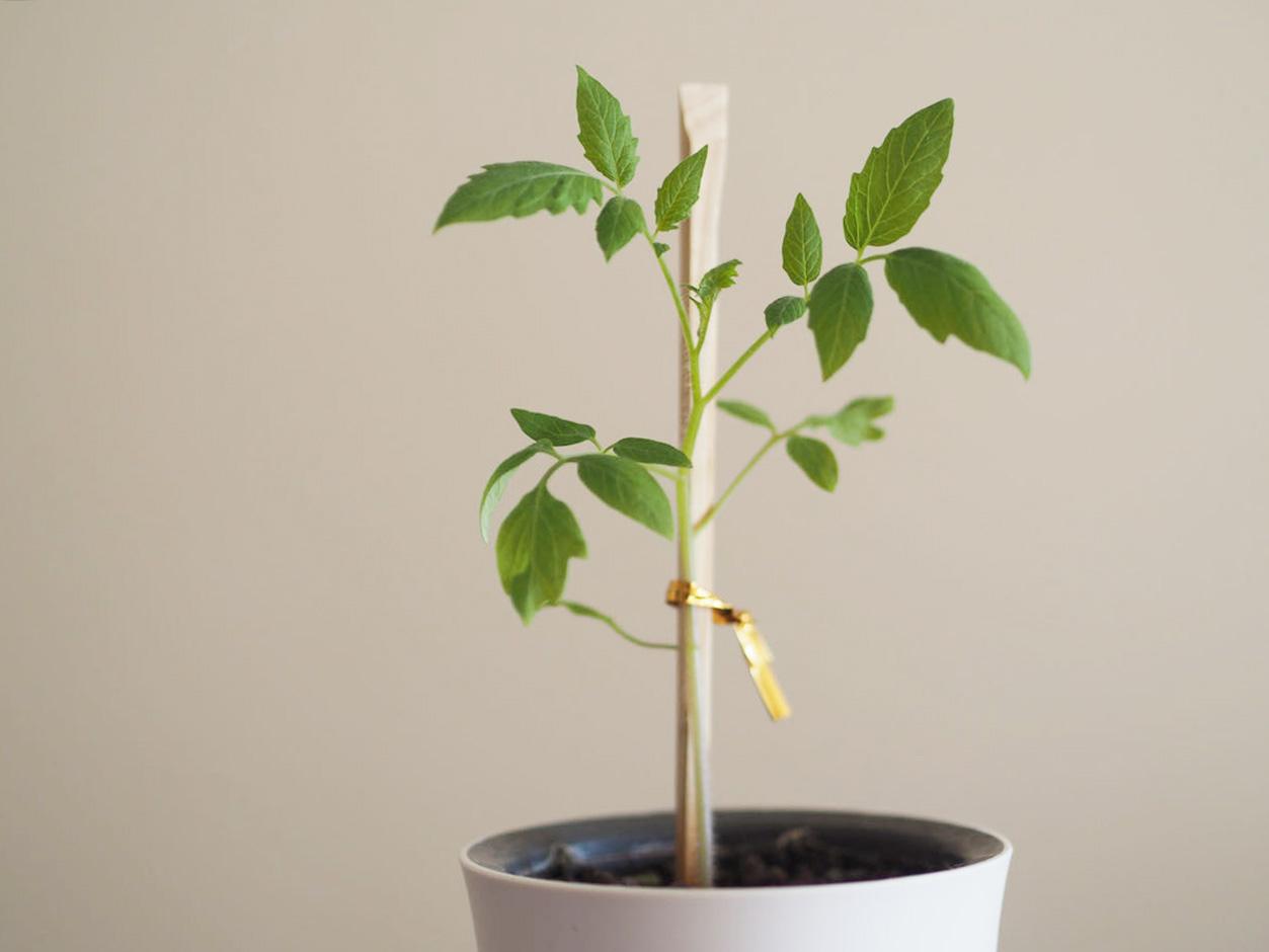 ミニトマトの苗 水耕栽培