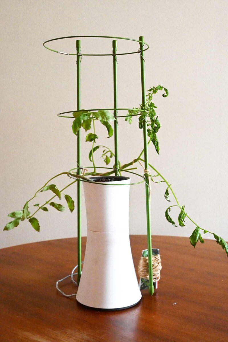 ミニトマト水耕栽培
