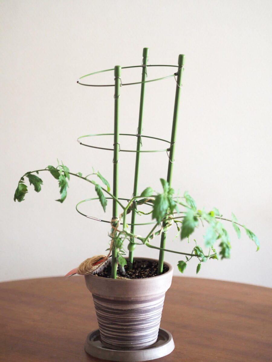 土耕栽培中のミニトマト