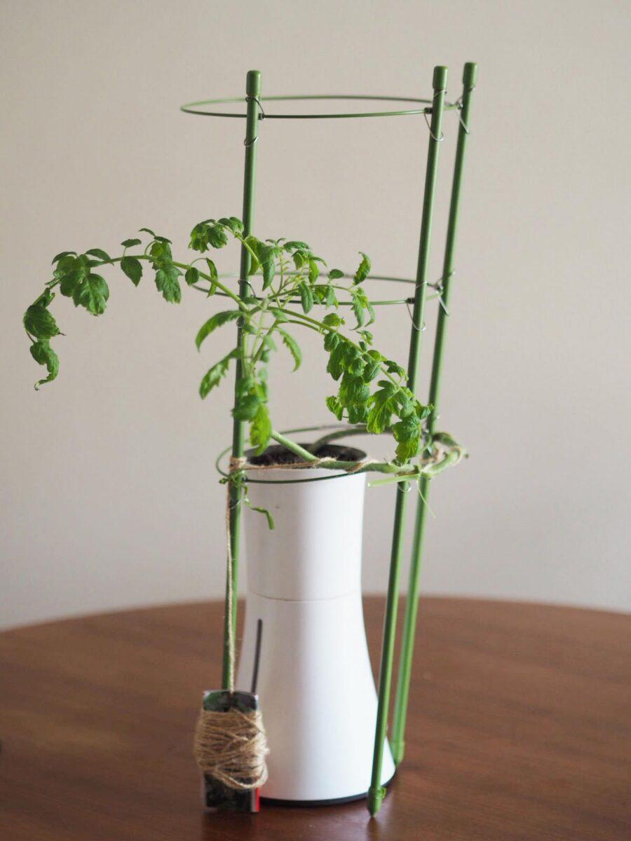 水耕栽培中のミニトマト