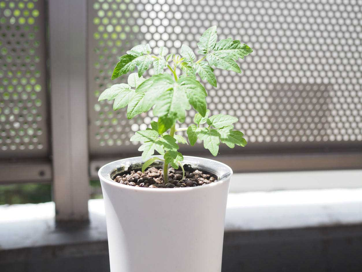 ミニトマト 水耕栽培