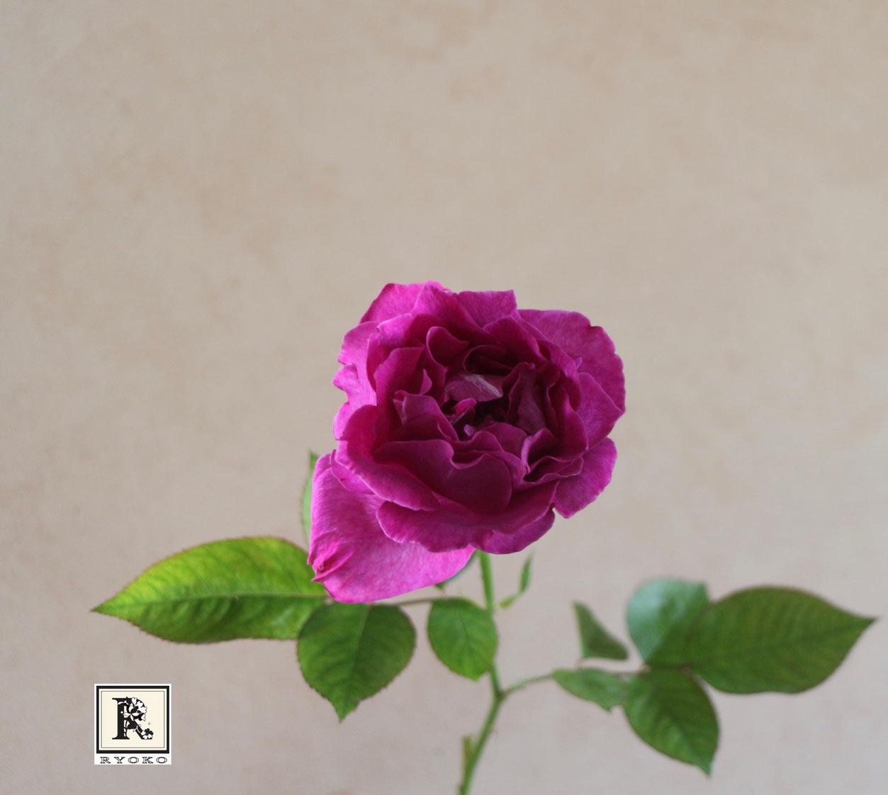 バラ ブラックレイン