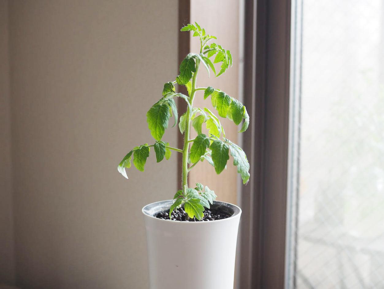 水耕栽培トマト 3ヶ月目